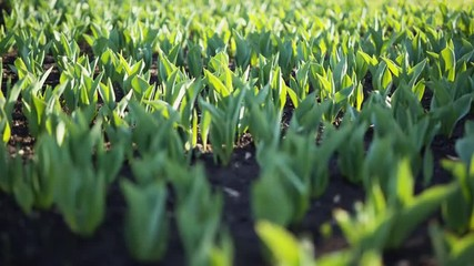 bud stage of tulips in flowebed focus pull, prores hq footage