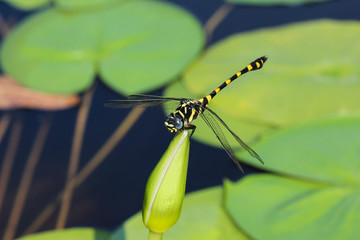 Dragonflies and lotus