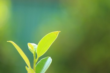 Green tea leaves on the blurred background.