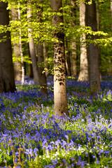 flowering bluebells in spring forest