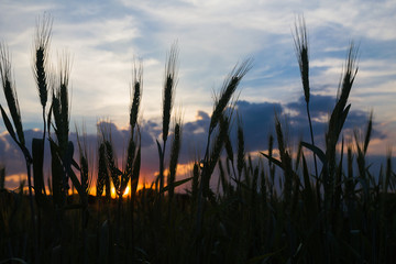 Wheat field in countryside agent sunset