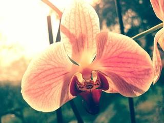 Orchideen Blüte rosa