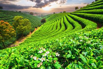 Tea Plantations under sky