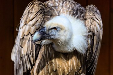 Eurasian griffon vulture portrait, Gyps fulvus