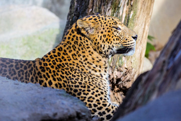 Portrait Sri Lanka Leopard, Panthera pardus kotiya