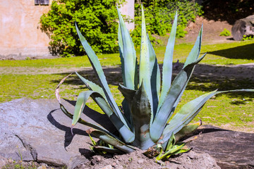 large agave in the park