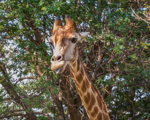 Giraffe. South Africa.