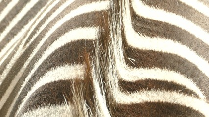 Close up of the fur of a standing zebra