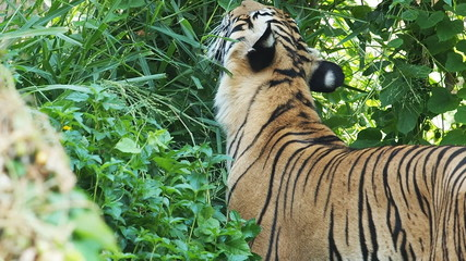Indochinese Tiger eating grass.