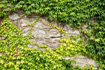 Efeuteppich an einer Wand