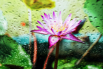 Blurry Purple Lotus  With rain drops