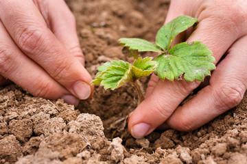 hands planting strawberry seedling, closeup