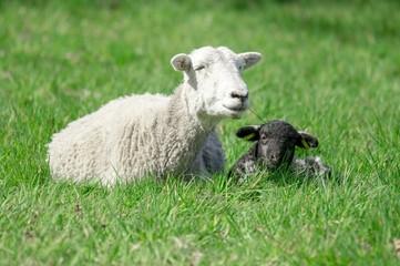 Schafhaltung, weißes Mutterschaf  mit schwarzem Lamm