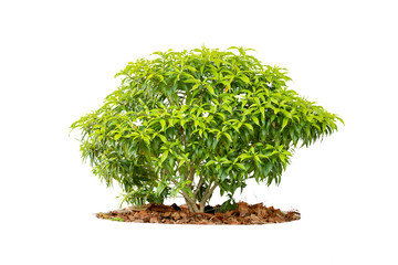 shrubs or tree isolated