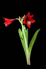 Amaryllis Flower with clipping path
