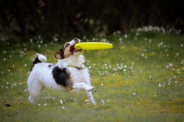 Dog plays with the frisbee