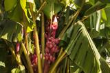 Musa velutina - pink banana tree with ripe fruit poster