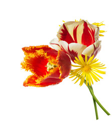 red and white tulips isolated on the white background