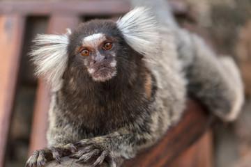 Mono Sagui