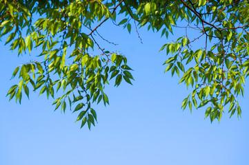 初夏の風に揺れるけやきの新緑