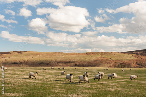 Suffolk sheep grazing on rolling hills Poster