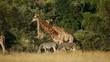 Giraffes and plains zebras  in natural habitat