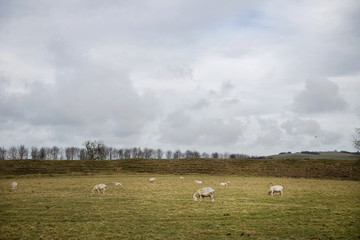 Early Spring views on fields with sheeps in England
