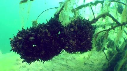 Freshwater bivalve zebra mussel (Dreissena polymorpha).