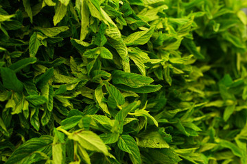background of fresh mint