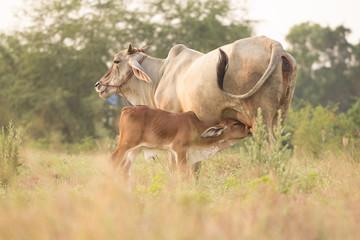Cow nursing brown calf