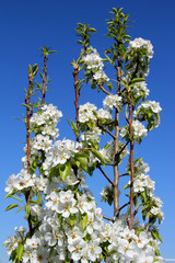 Blossoming pear against the blue sky