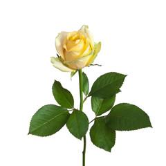 yellow rose on a stem with leaves
