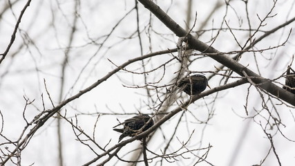 starlings jumping on the branches of trees
