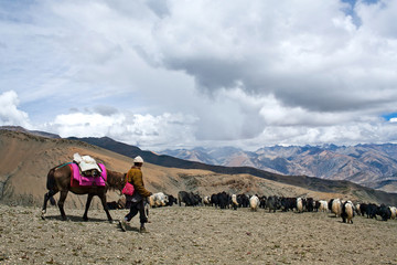 Caravan of yaks crossing in the Nepal Himalaya
