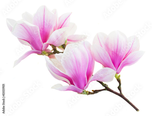 Fototapety, obrazy : Blossoming pink  magnolia Flowers