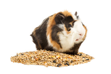 Guinea pig on a handful of feed