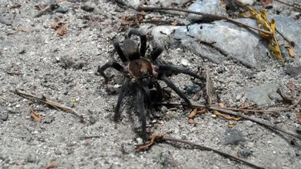 A tarantula stays completely still as a group of ants swarm it.