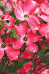 dogwood flowers outdoors