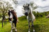 Fotoroleta Ponny