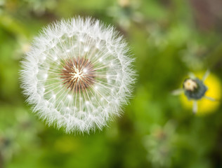 Blowball close-up