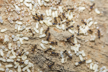Red Ants Eggs