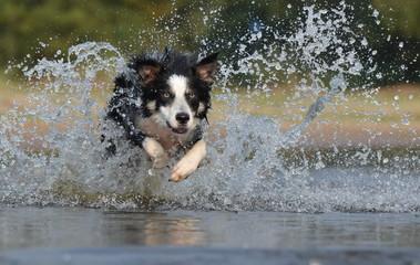 Border Collie- Sprung ins Wasser