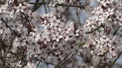 Spring Blossom Flowers Hedge Blackthorn