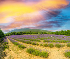Lavender flower blooming scented fields in endless rows. Valenso