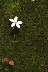 Aegiceras, dead leaves