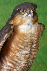 falcon portrait taxidermy
