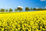 Rapsfeld im Frühling, Allee, blauer Himmel
