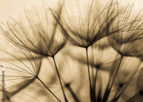 Fototapety, obrazy : Abstract dandelion flower background, extreme closeup. Big dandelion on natural background. Art photography