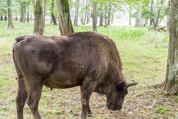 Bialowieski National Park - Poland. Aurochs head.