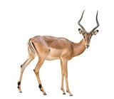 male impala isolated - 83071758